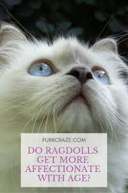 Do Ragdoll Cats Get More Affectionate With Age Purr Craze