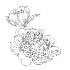 Fototapeta Pivoňka Růže Kvetoucí Zahradní Květiny Detailní Náčrt Kreslení