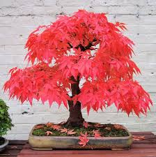 1000 ideas about bonsai on pinterest bonsai trees pine bonsai and maple bonsai add bonsai office interior