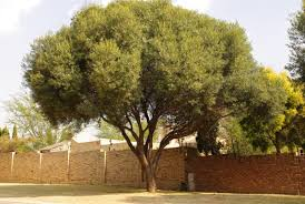How To Grow An Olive Tree In A Container  Green ProphetWild Olive Tree Fruit