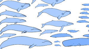 Blue Whale Size Chart Ocean Giants The Whales A Size Comparison Nature Pbs