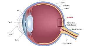 anatomy of eye and macula retina specialists vmr insute huntington beach ca 92647 sensitive tissue which