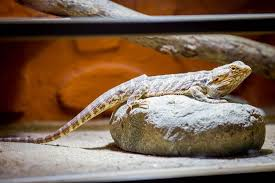 Bearded Dragon Tank Size Heres What Size Tank You Should