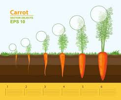 carrot plant stages. Unique Stages Phases Of Growth A Carrot In The Garden Growth Development And  Productivity Carrot Growth Stage Distance Between Plants Infographic Concept In Carrot Plant Stages F