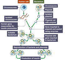 bbc bitesize national 5 biology genetic engineering revision 2 the stages of this method of genetic engineering