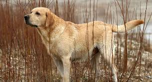 English Labrador Weight Chart By Age English Lab Your Guide To The English Labrador Retriever