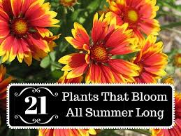 plants that bloom all summer long