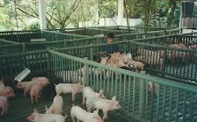 49 Porcicultura Jaulas Corrales Parideras Porcinas Corral Preceba Precio Granja De Cerdos Engorde
