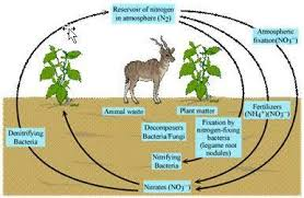 Explain Nitrogen Cycle Carbon Cycle Oxygen Cycle Brainly In