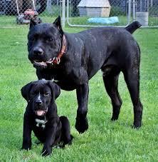 cane corso male puppy