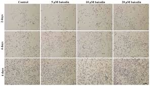 figure 7 immunohistochemical staining images revealed the presence of s100β rsc96 schwann cells were cultured in vitro with 0 control 5
