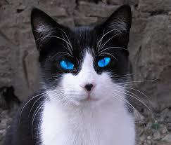 black and white kitten with blue eyes.  With Furredsmallblackandwhitepatchedshecatwithstunningblueeyes 2png Intended Black And White Kitten With Blue Eyes
