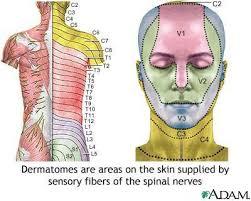 Dermatomal Pattern Custom Nerve Chart For Shingles Adult Dermatome Inspirations