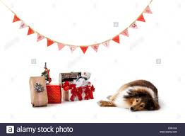 shetland sheepdog lying on ground beside gifts