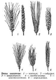 Интенсивная технология возделывания озимой пшеницы