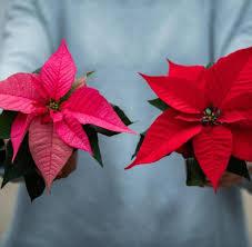 Schick Oder Spießig Neues Image Für Den Weihnachtsstern Welt