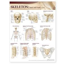 Skeletal System Head And Trunk Anatomy Chart