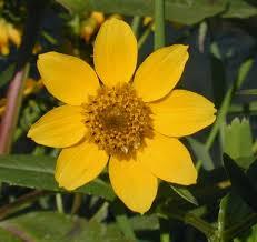 Nodding Bur-Marigold (Bidens cernua)