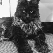 Facebook Maine Home Coon Luminiferous -