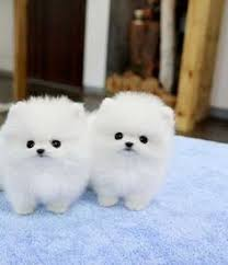teacup pomeranian puppies for sale 250. Perfect 250 Are You Looking For TEACUP Pomeranian Puppy Sale Then You Need To Read  Our Complete Information On This Before Buying A Teacup Puppies For Sale 250 N