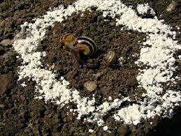 keep slugs out of your garden amazing uses of diatomaceous earth