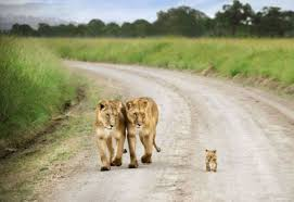 cute wild animal wallpaper. Plain Animal Two Lions Walk With His Cute Baby Cub HD Wild Animal Photos  Famous  Wallpapers And Wallpaper I
