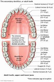 Teeth Numbers Chart Usa Valid Diagram Of Teeth Numbers Tooth Numbering System Usa