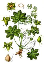 Alchemilla fissa – Wikipedia