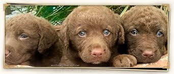 chesapeake bay retrievers dog breeders longmeadow chesapeakes dover pa