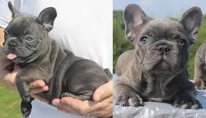 teacup blue french bulldog puppies. Perfect Bulldog French Bulldog Puppies For Sale With Teacup Blue French Bulldog Puppies E
