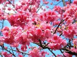 「沖縄の桜」の画像検索結果