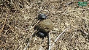 священный жук скарабей описание и фото библиотека невероятных фактов