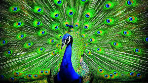 Why Are More Peacocks Being Sighted In Kerala?