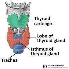 Thyroid Anatomy The Thyroid Gland Location Blood Supply Teachmeanatomy