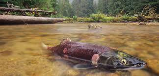 Alaska Fish Fertilizer Feeding Chart Salmon Trees Hakai Magazine