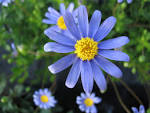 Images & Illustrations of blue daisy