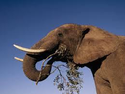 African Elephant Species Wwf