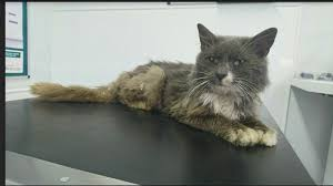 emaciated cat. Fine Emaciated Mystery Over Emaciated Cat Found With No Claws On Emaciated Cat E