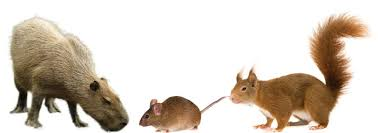 Rodents Lower Classifications Big Or Small Rodents Have Always Been Rodents The