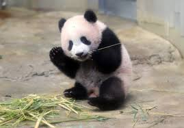 oh how cute tokyo crowds flock to see baby panda on first day