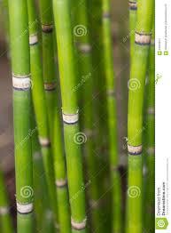 Lange Equisetumsteel Groen Behang Met Bamboe Stock Afbeelding