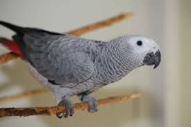 How Long Can You Leave An African Grey Alone? - Parrot Website