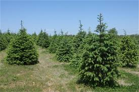 Zuhoski's Tree Farm offers cut your own trees. (Credit: Northforker file  photo)