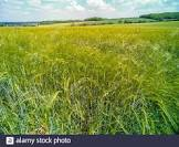 bountiful barley