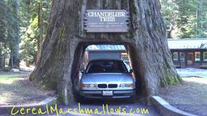 drive thru tree chandelier tree world famous redwood forest california national park trees part 2 you