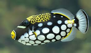 clown triggerfish. Contemporary Triggerfish Clown Triggerfish Balistoides Conspicillum Close Up Of The Spectacular  Colouration A Clown Triggerfish  To L