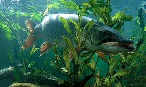 Image result for muskie fever pics