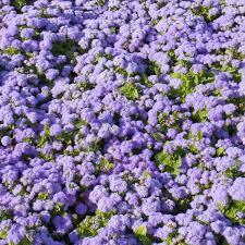 ageratum blue danube tray of 40 plug plants