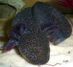Small Picture 34 best Axolotl images on Pinterest Amphibians Reptiles and Animals