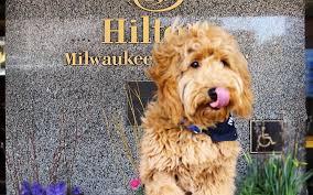 Meet Millie the Goldendoodle, the cutest concierge to ever grace a ...